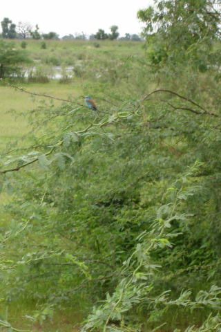 oiseau-bleu.1193727487.jpg