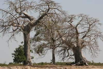 baobabs-arrivee-n-400.1202726607.jpg