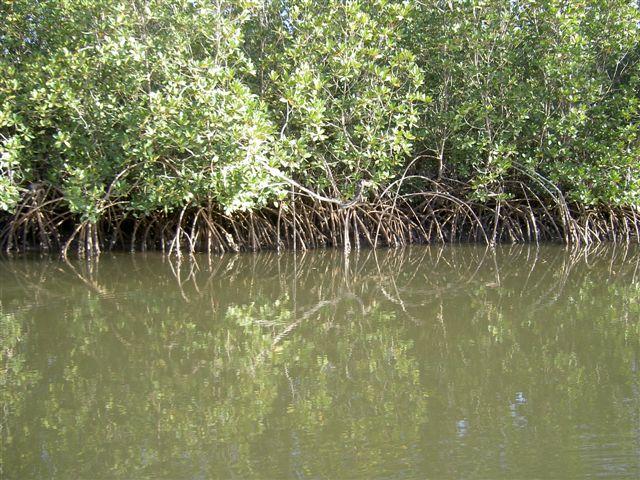 1-paletuviers-dans-la-mangrove.1208545335.JPG