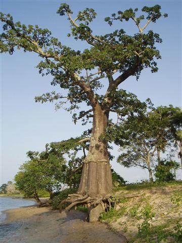 12-le-baobab-avec-des-feuilles-octobre.1208545524.JPG