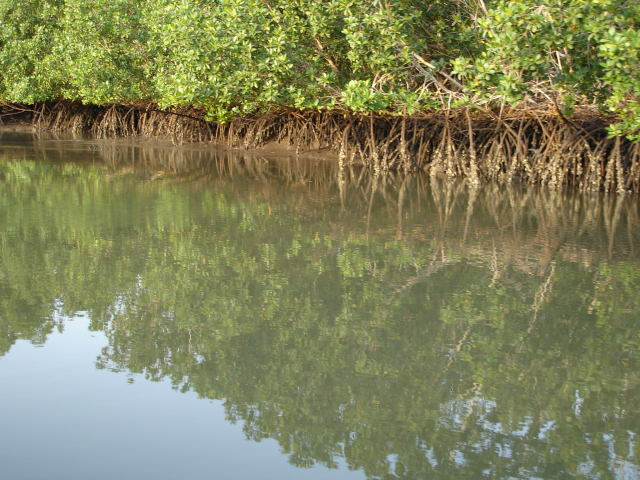 mangrove-oct-08.1226330878.jpg